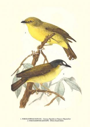 POECILODRYAS PAPUANA - Canary Flyrobin or Papuan Flycatcher, LEUCOPS - White-Faced Robin